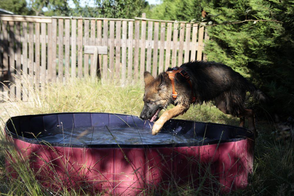 jeune chiot saute dans la piscine
