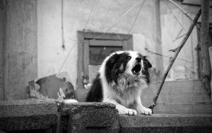 chien aboyeur qui agresse des intrus près de son territoire