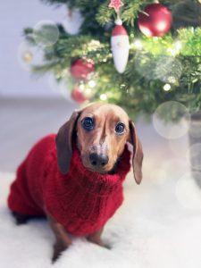 teckel avec pull-over rouge et sapin de Noël