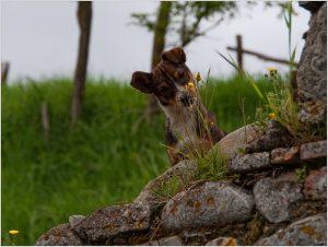 chien renifle une fleur en printemps